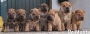 cachorros shar pei chocolates y leonados
