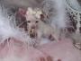 Lindo Chihuahua cachorros recién nacidos para su aprobación (Gratis)