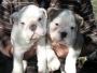Cachorros de Bulldog Ingles y otras razas