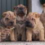 cachorros de shar peis lilas, chocolates, rojos ,leonados