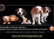 Cachorros de Beagle y otras razas
