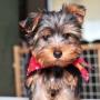 Yorkshire terrier cachorros listos para su aprobación 100 â?¬