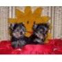 Se venden cachorros de Yorkshire Terrier