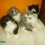 Vendo gatos persas