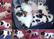 Vendo Preciosos Cachorros de Jack Russell Terrier