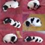 Jack Russell Preciosos Cachorros con Pedigree