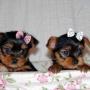 hombres y mujeres yorkie cachorros para su aprobación