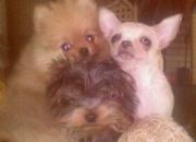 Se venden cachorros de lulú de pomerania, yorkshire terrier y chihuahuas miniatura excelente pedigrée