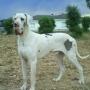 CACHORROS DE DOGO ALEMAN