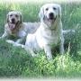 Venta cachorros de GOLDEN RETRIEVER
