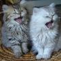 persan dos gatitos en adopción