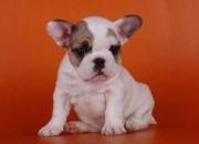 Se venden cachorros de bulldog frances
