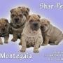 cachorros de shar pei