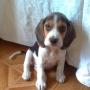 Beagle precioso
