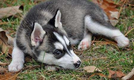 Siberian husky cachorros.