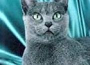 Preciosos gatitos de raza rusa