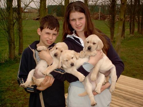 Labrador retriever cachorros de campeones