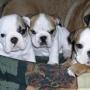 Exelente cachorros buldog ingles,pedigri,muy economico.Oferta!!