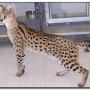 Maravilloso serval gatitos machos y hembras en busca de un hogar amoroso