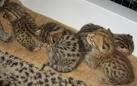 serval gatitos, sabana y safaris a vanta