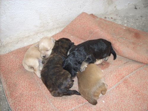 Perritos De Raza Pequeña Hermosos Regalo En Almería Animales Mascotas 218295