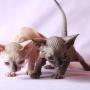 sphynx gato egipcio sin pelo pedigree