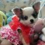 Chihuahua Masculino y Femenino Preciosa
