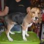Ultima cachorrita beagle