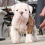 Dos Bulldog Inglés cachorros