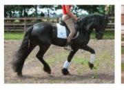 Frisón caballos para la adopción