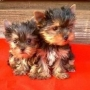 REGALO YORKSHIRE TERRIER PEDIGREE MACHO Y HEMBRA
