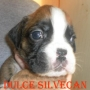 Cachorros Boxer de Silvecan