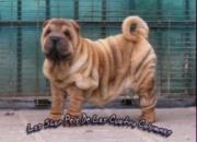 Excelentes cachorros de sharpei linea americana