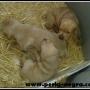 Impresionantes cachorros de Braco Hungaro o Vizla.