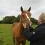 Saludables caballos frisones en venta