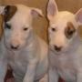 Bull terrier cachorros