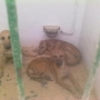 SUGAR, BREAD AND HONEY, 3 CACHORROS MIX GALGO UNOS 4 MESES(HELLIN,ALBACETE)‏