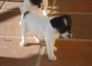 cachorros jack russell con pedigree