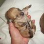 Ella y Mia- Cachorros de chihuahua hembra en Valencia
