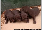 Extrahordinarios cachorros de Braco Aleman.