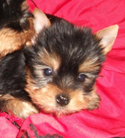 Cachorritos yorkshire machitos con pedigree nacional