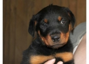 Alemán Rottweiler cachorros