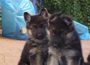 cachorros de pastor aleman L.O.E