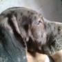 Cachorros de dogo aleman, gigantescos, de 2 meses
