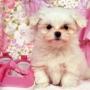Encantadora cachorros maltés para su aprobación son 14 semanas de edad