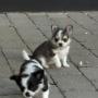 Luz brillante magnífico cachorros Chihuahua