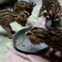 botella Serval,Caracal,el ocelote, Savannah y cachorros de leopardo asiático para la venta.