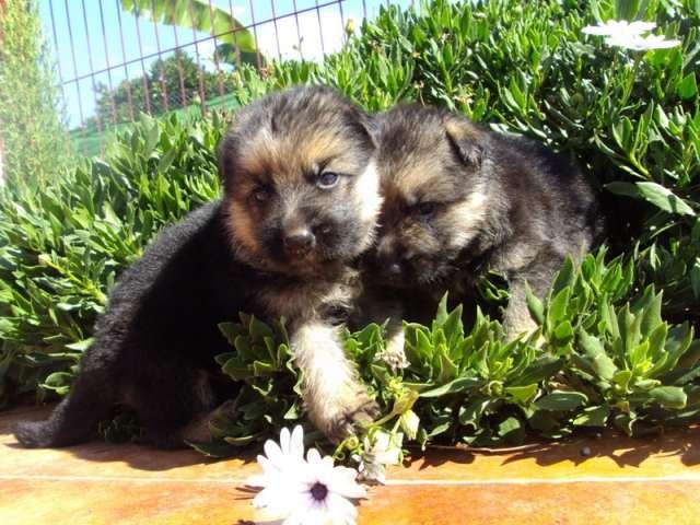 Preciosos cachoros de pastor aleman, calidad y garantia
