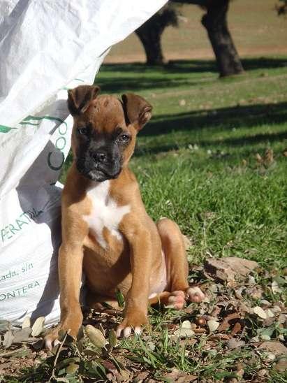 Cachorrita de boxer dorada con pecho blanco