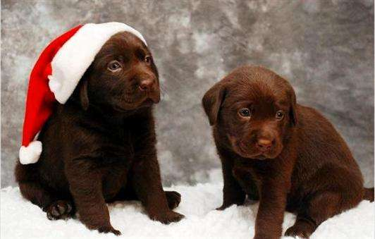 Masculino y femenino cachorros akc labrador retriever chocolate